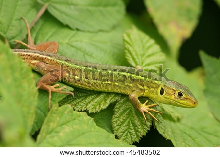 Juvenile Lacerta viridis or bilineata - stock photo