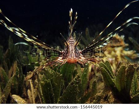 Juvenile lionfish - stock photo