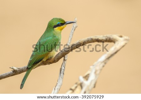 Juvenile little bee-eater on a dead tree branch, Kruger National Park, South Africa - stock photo