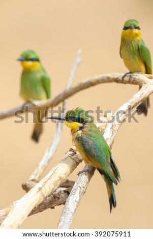 Juvenile little bee-eaters on a dead tree branch, Kruger National Park, South Africa - stock photo