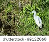 Juvenile Little Blue Heron (Egretta caerulea) perching in the grass in the Everglades National Park - stock photo
