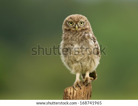 Juvenile Little Owl (Athene noctua) on a post, Worcestershire, UK. - stock photo