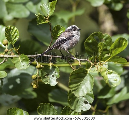 Juvenile long tail tit perched on a small branch