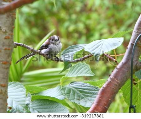 Juvenile long tailed tit - stock photo