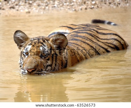 juvenile male bengal tiger swimming in lake, thailand, asia cat lion leopard - stock photo