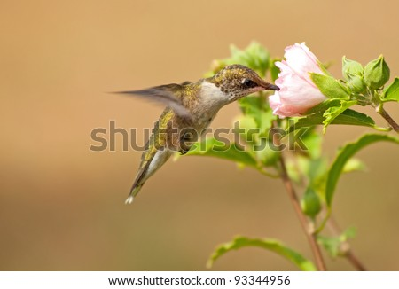 Juvenile male Hummingbird feeding on a pale pink Althea flower - stock photo
