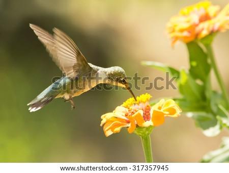 Juvenile male Hummingbird feeding on a Zinnia flower in summer garden - stock photo