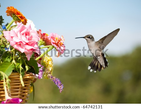 Juvenile male Hummingbird hovering, getting ready to feed on a flower in a basketful of colorful flowers - stock photo