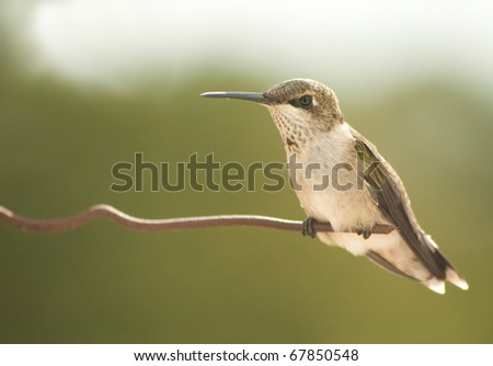 Juvenile male Hummingbird resting on a wire - stock photo
