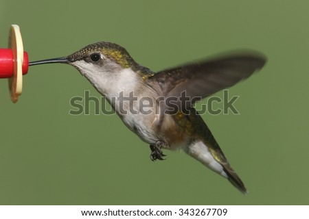 Juvenile male Ruby-throated Hummingbird (archilochus colubris) in flight at a feeder with green background - stock photo
