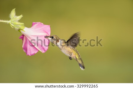 Juvenile male Ruby-throated Hummingbird feeding on a pink Morning Glory bloom, with green summer background