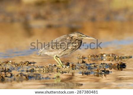 Juvenile Mangrove Heron on Red Sea coral reef in Sharm el-Sheikh - stock photo
