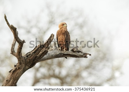Juvenile, medium-sized eagle, Bateleur, Terathopius ecaudatus, perched on dead tree against very bright background, looking for prey. South Africa. - stock photo