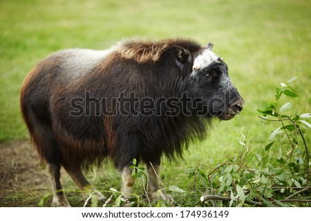 Juvenile Musk Ox - Southern Alaska, United States - stock photo