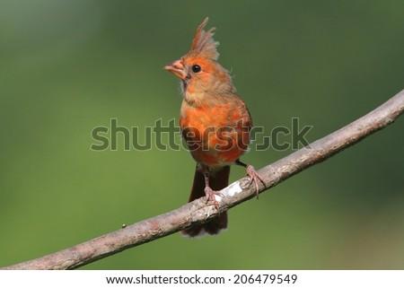 Juvenile Northern Cardinal (cardinalis cardinalis) on a branch with a colorful background - stock photo