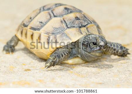 juvenile of spur-thighed turtle on the rock / Testudo graeca ibera - stock photo