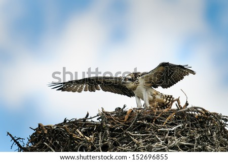 Juvenile Osprey on a nest learning to fly, Banff National Park Alberta Canada - stock photo