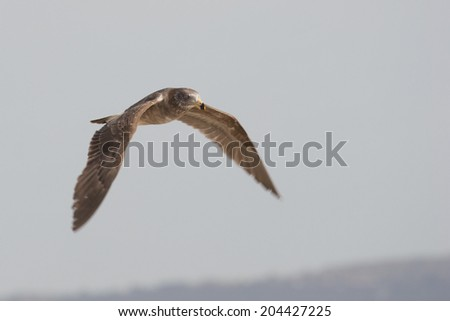 Juvenile Pacific Gull (Larus Pacificus) - Aspendale Beach, Melbourne, Australia - stock photo