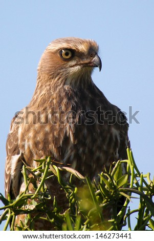Juvenile pale chanting goshawk portrait, Addo Elephant National Park, South Africa - stock photo