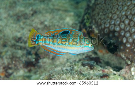 Juvenile Puddingwife-Halichoeres radiatus, picture taken on a reef in Broward County, Florida. - stock photo