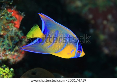 Juvenile Queen angelfish (Holacanthus ciliaris) in the coral reef of the caribbean sea  - stock photo