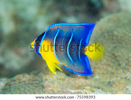 Juvenile Queen Angelfish, picture taken in south east Florida. - stock photo