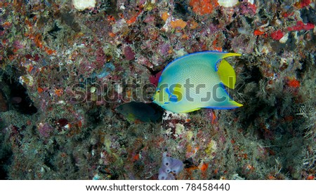 Juvenile Queen Angelfish swimming under a reef ledge.