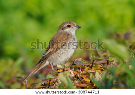 Juvenile Red-backed Shrike (Lanius collurio) before migrating in October. Moscow region, Russia. - stock photo