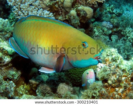 Juvenile Red Sea steephead parrotfish feeding on coral and algae - stock photo