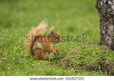 Juvenile Red Squirrel on grass in Scotland