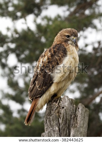 Juvenile Red-tailed Hawk Perched on Fencepost