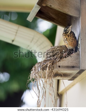 Juvenile Robin Preparing for First Flight from Nest
