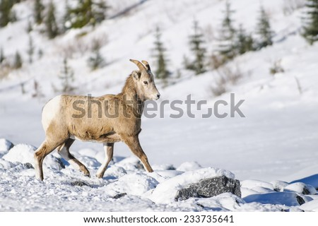 Juvenile Rocky Mountain Bighorn Sheep running through the snow - stock photo