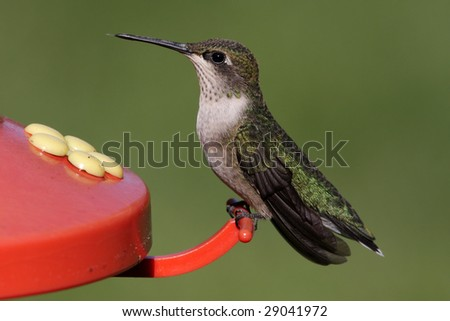 Juvenile Ruby-throated Hummingbird (archilochus colubris) at a feeder with a green background - stock photo