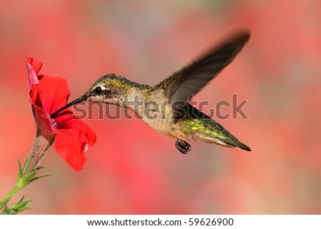 Juvenile Ruby-throated Hummingbird (archilochus colubris) in flight at a flower with a colorful background - stock photo