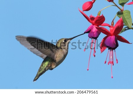 Juvenile Ruby-throated Hummingbird (archilochus colubris) in flight at a fuschia flower with a blue background - stock photo