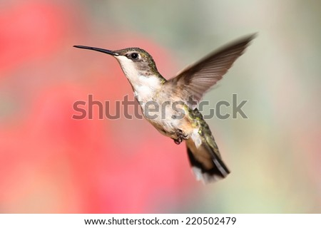 Juvenile Ruby-throated Hummingbird (archilochus colubris) in flight with a colorful background - stock photo
