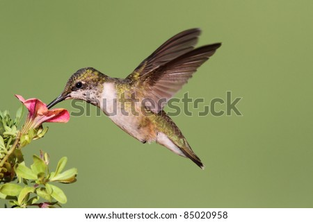 Juvenile Ruby-throated Hummingbird (archilochus colubris) in flight with a flower