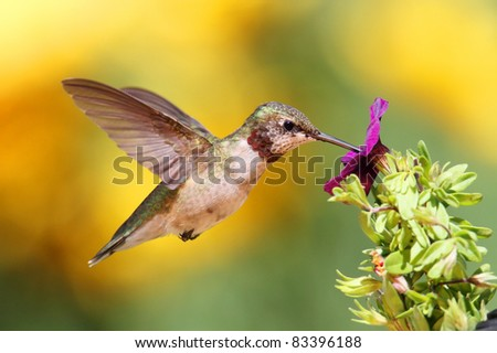 Juvenile Ruby-throated Hummingbird (archilochus colubris) in flight with a purple flower and a floral background - stock photo