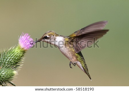 Juvenile Ruby-throated Hummingbird (archilochus colubris) in flight with a thistle flower and a green background