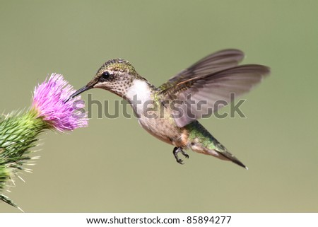 Juvenile Ruby-throated Hummingbird (archilochus colubris) in flight with a thistle flower and a green background - stock photo