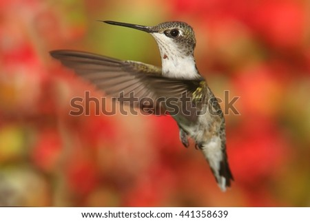 Juvenile Ruby-throated Hummingbird (archilochus colubris) in flight with colorful flowers in the background - stock photo