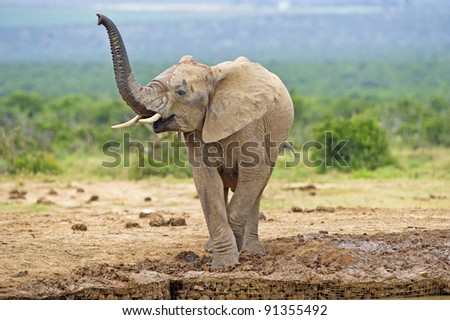 Juvenile Scenting Elephant - stock photo