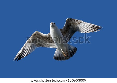 Juvenile seagull hovering (young Western Gull, Larus occidentalis)