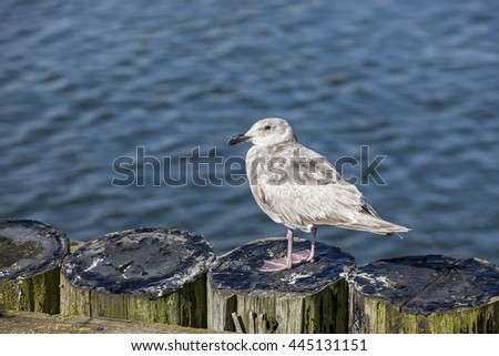 Juvenile seagull perched on posts in Westport, Washington.
