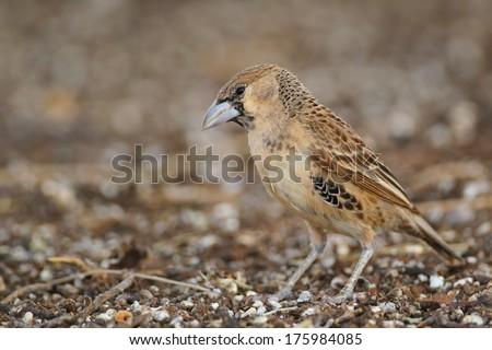Juvenile sociable weaver standing on ground, Kalahari, South Africa - stock photo
