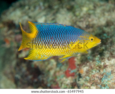 Juvenile Spanish Hogfish-Bodianus rufus, on a shallow water reef in Broward County Florida. - stock photo