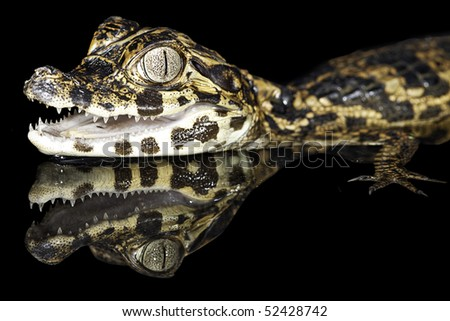 juvenile spectacle cayman with reflection in amazon rain forest tropical jungle species