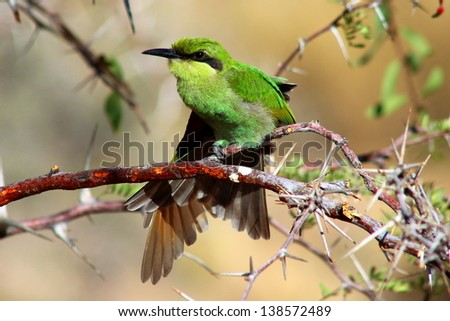 Juvenile Swallow-tailed Bee-eater stretching - stock photo