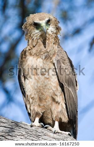 Juvenile Tawny Eagle (Aquila rapax) - stock photo